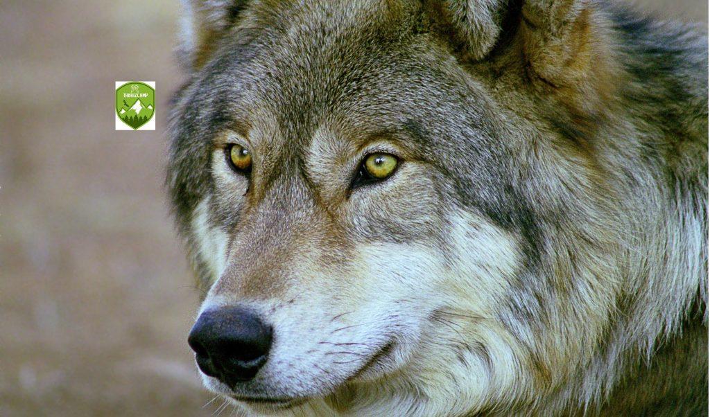 تکنیک های مبارزه با گرگ در کوهنوردی